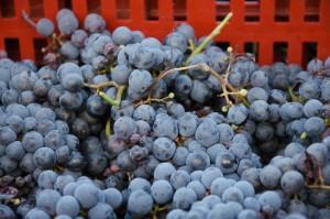 vendanges vin des dunes-1651©patricia marini